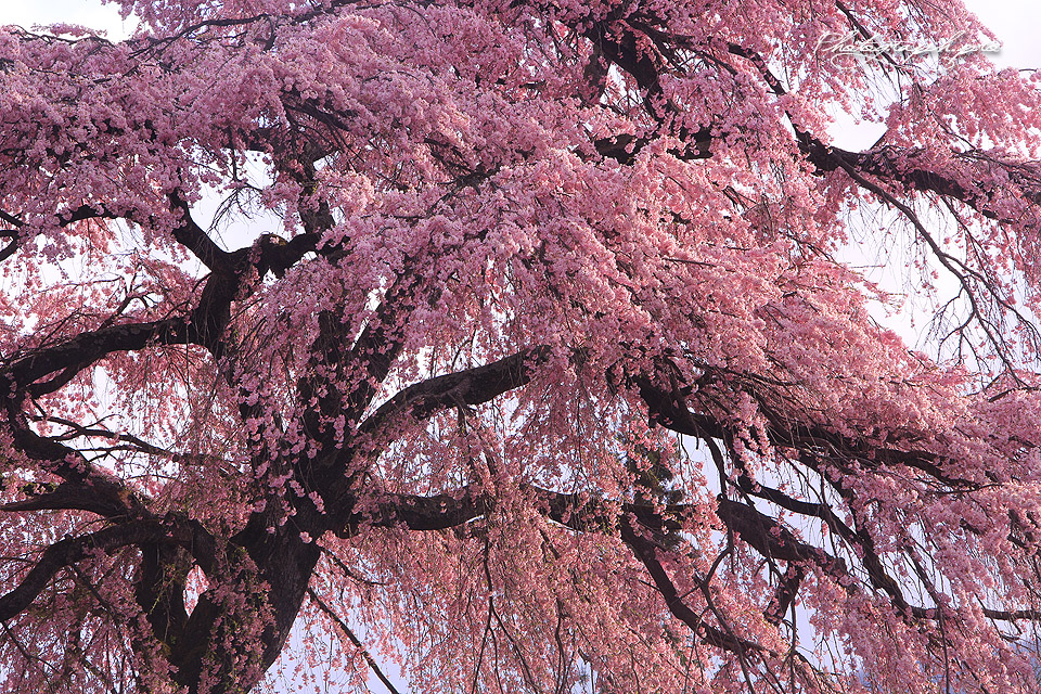 下馬の枝垂れ桜紀行