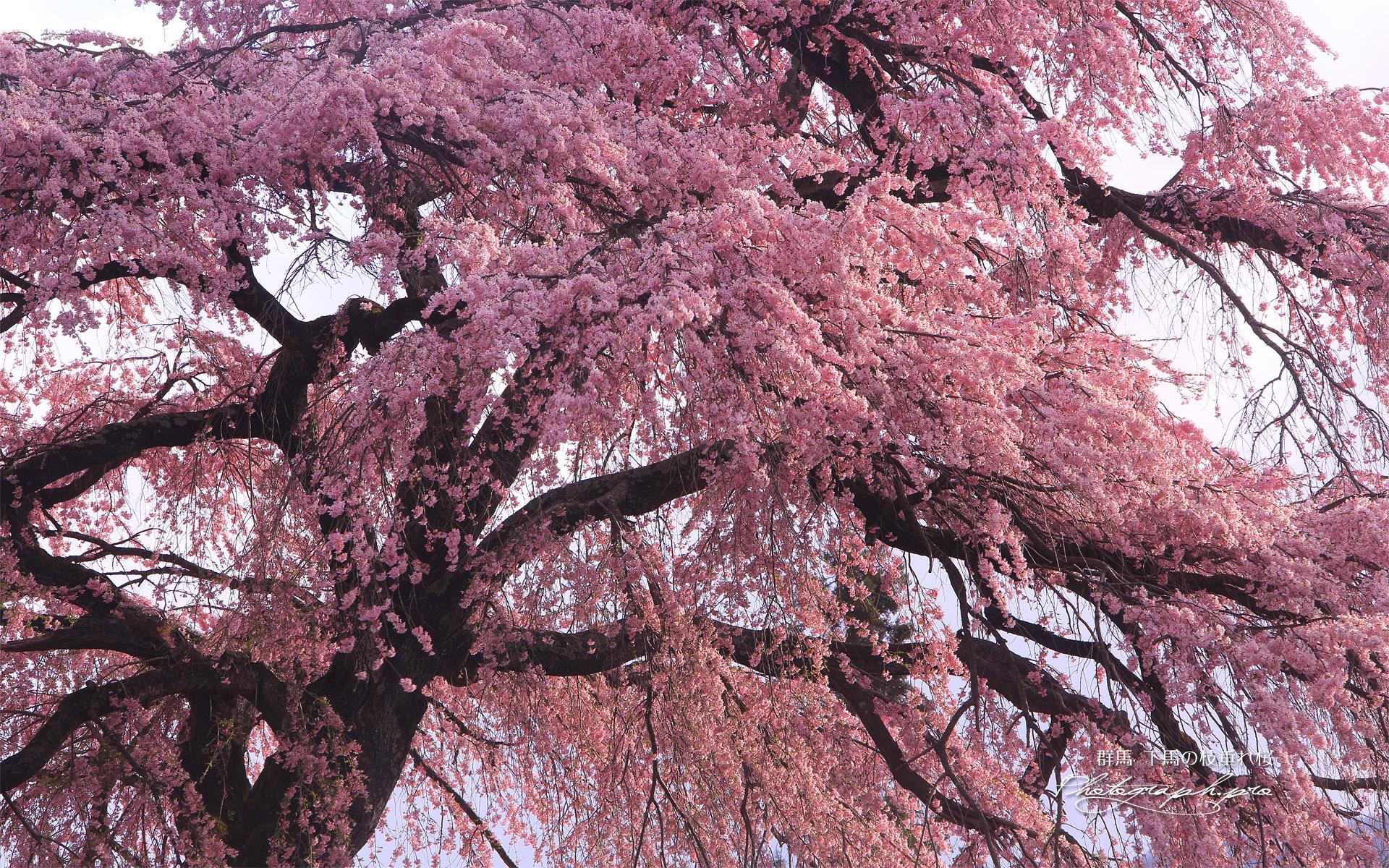 下馬の枝垂れ桜