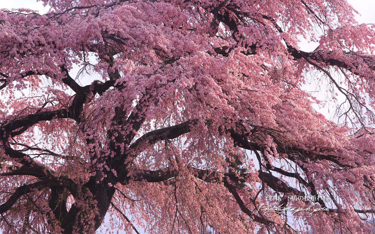 下馬の枝垂れ桜 壁紙