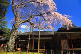日光田母沢御用邸記念公園のしだれ桜