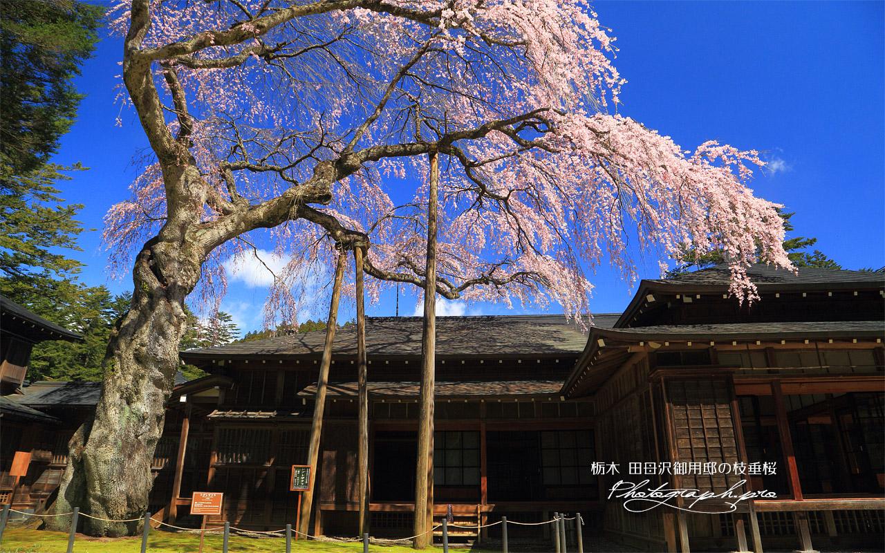 日光田母沢御用邸記念公園のしだれ桜 壁紙