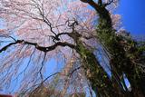 竜門寺跡のしだれ桜