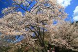 自由ヶ丘の開運桜