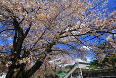 鬼怒川温泉の桜
