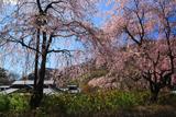 鬼怒川公園岩風呂の桜