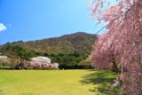 鬼怒川公園のしだれ桜