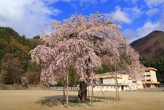 大戸中学校の勝多桜