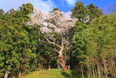 石村の種蒔桜