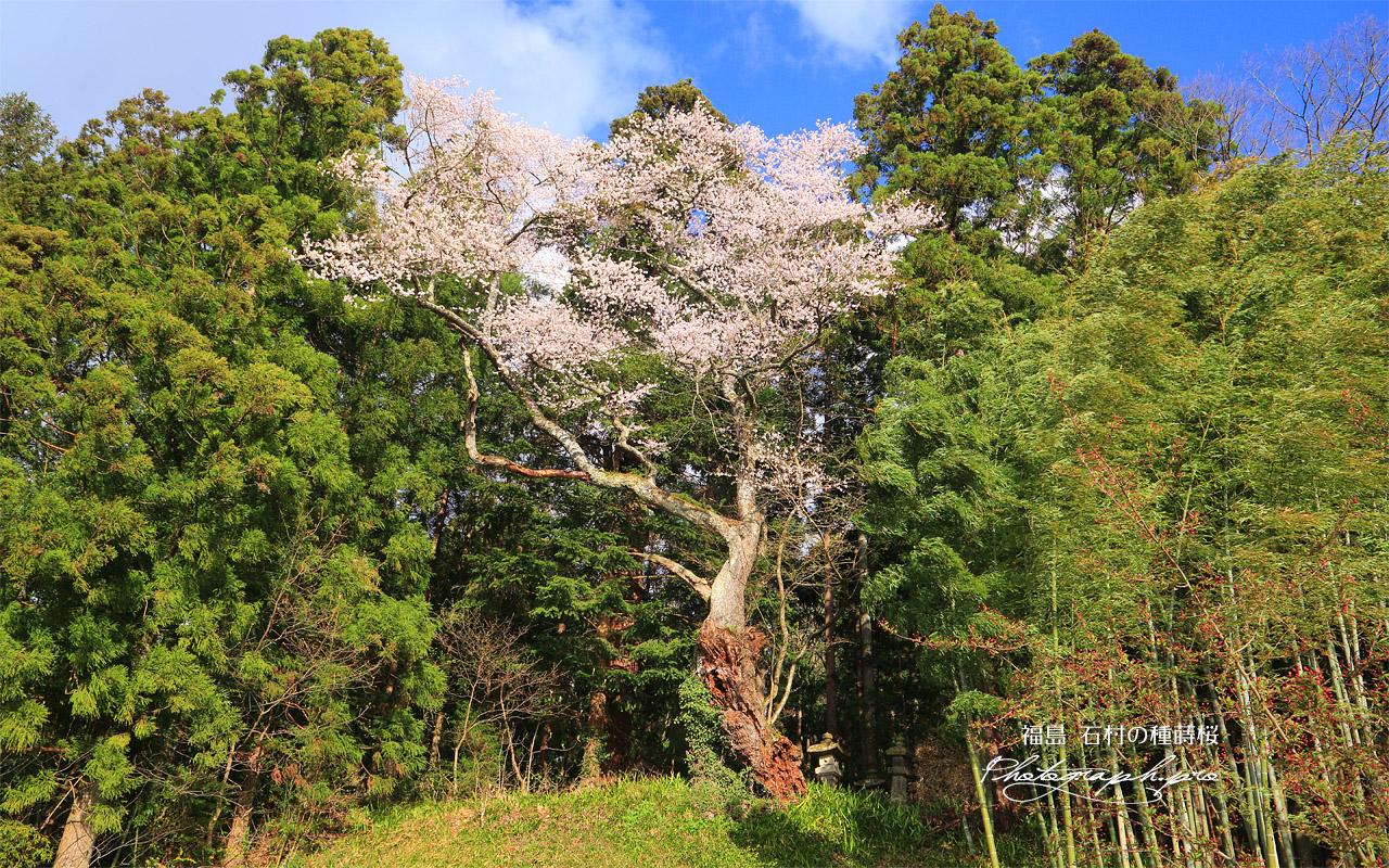 石村の種蒔桜 壁紙