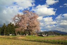 一ノ堰羽黒墓地の種蒔桜