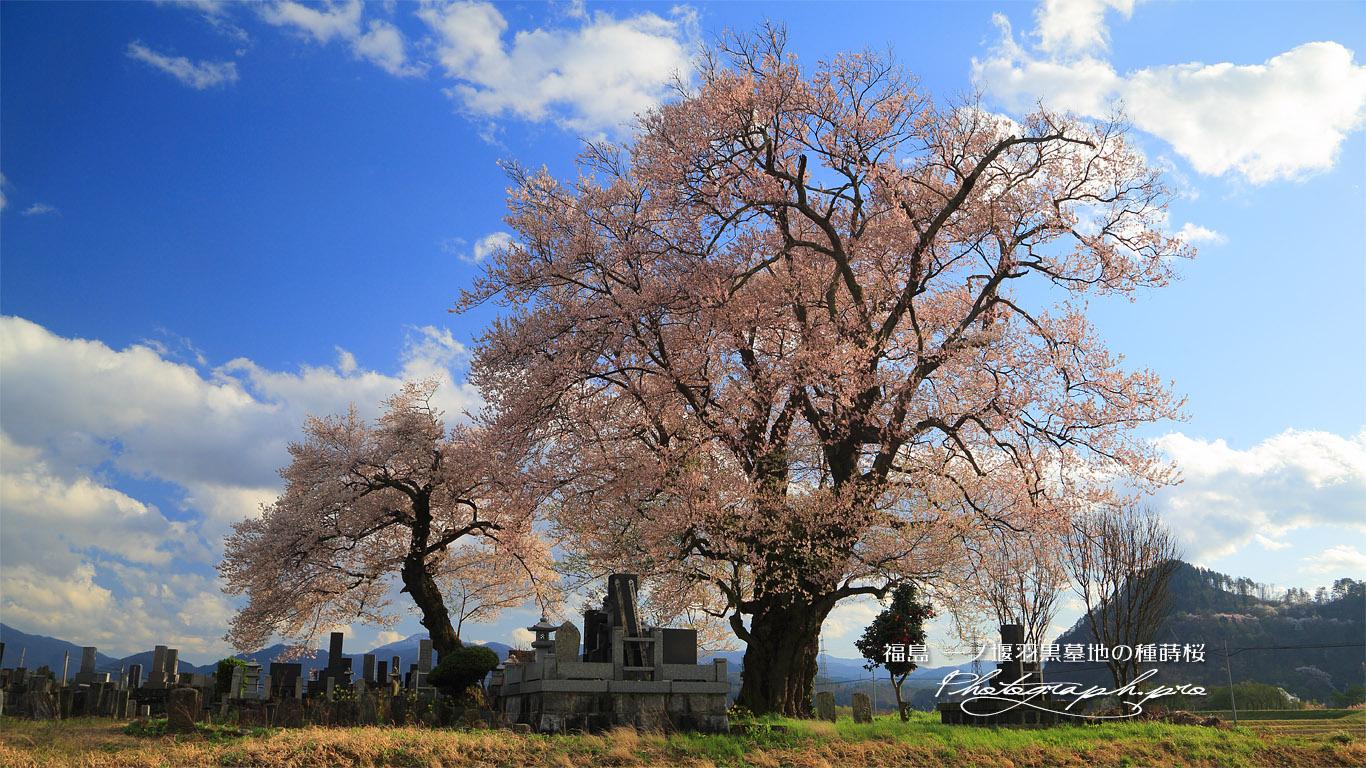 一ノ堰羽黒墓地の種蒔桜 壁紙