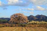 馬ノ墓の種蒔桜