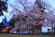 鷺林の種蒔桜