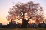 東麻生の種蒔桜