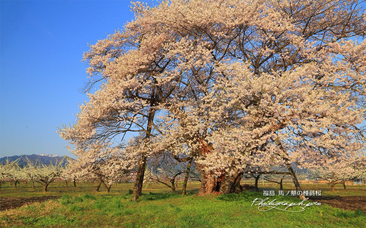 馬ノ墓の種蒔桜 壁紙
