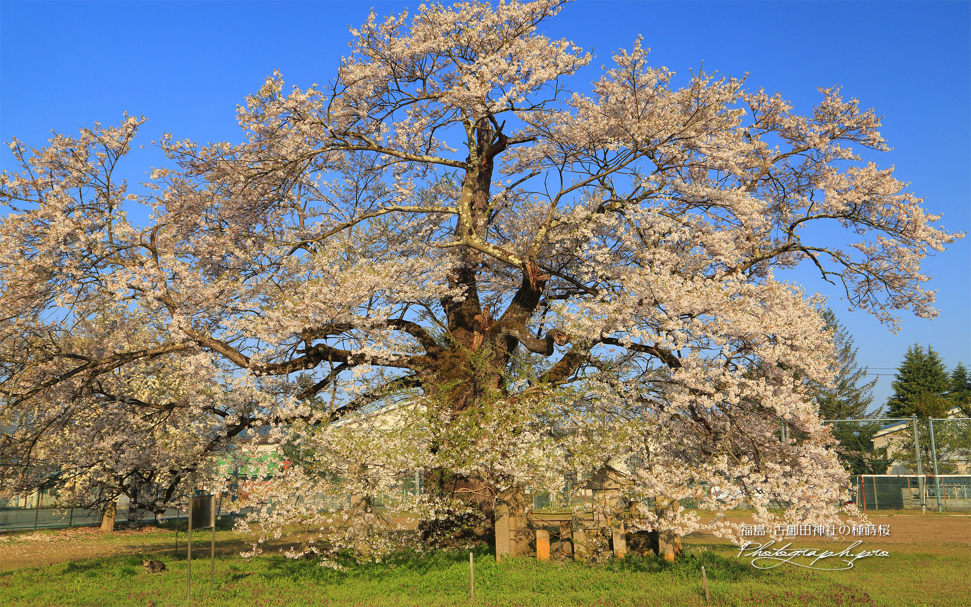 古御田神社の種蒔桜