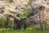 伊佐須美神社の神代桜