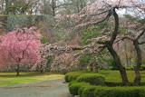 盛岡城跡公園の枝垂れ桜