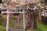 愛宕神社の種蒔き桜