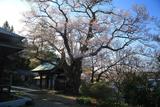 長善寺の桜樹