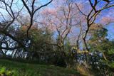 前田の染井吉野桜