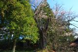 中川目のヒガン桜