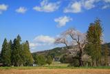 前田の吉野桜