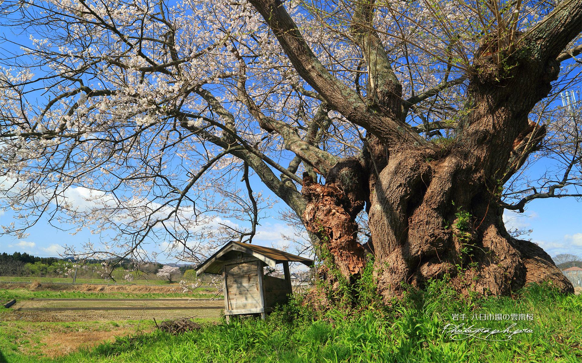 八日市場の雲南桜