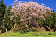三川長根の種まき桜