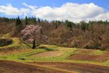 小鵇ヶ清水の桜