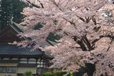 盛岡 正傳寺の桜