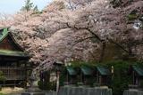 盛岡八幡宮の桜