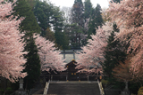 岩手護国神社の桜