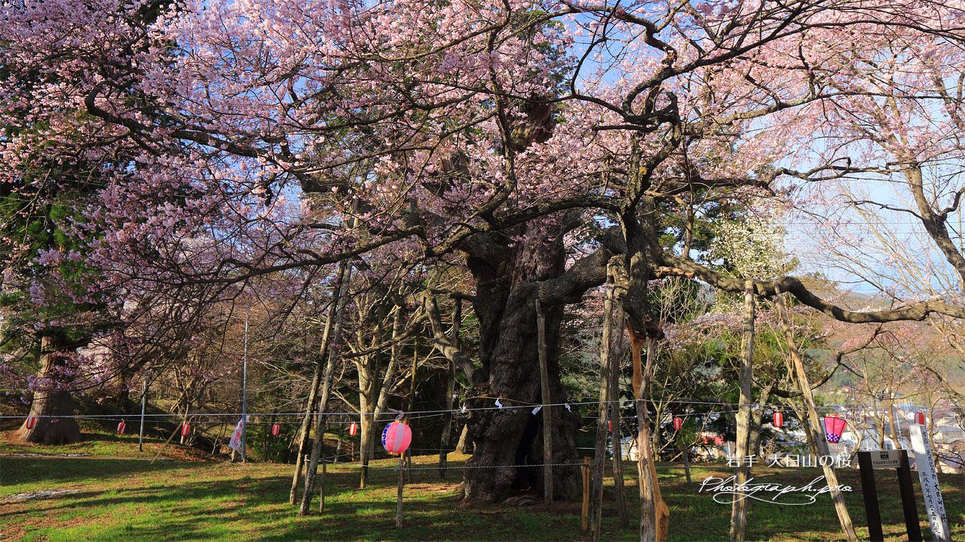 大日山の桜 壁紙