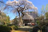 喜清院のシダレ桜