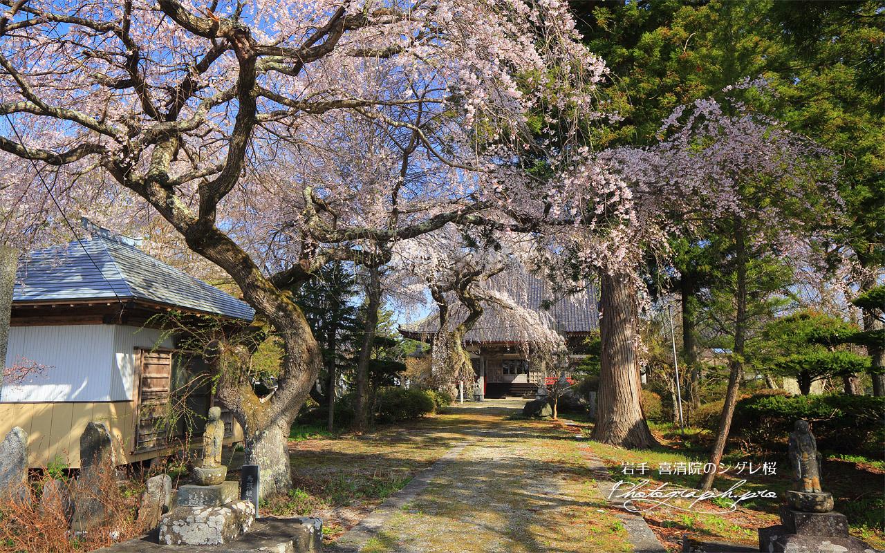 喜清院のシダレ桜 壁紙