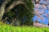 松崎観音の桜