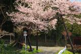 松崎観音の観音桜