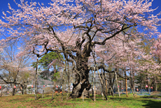 大日山の桜