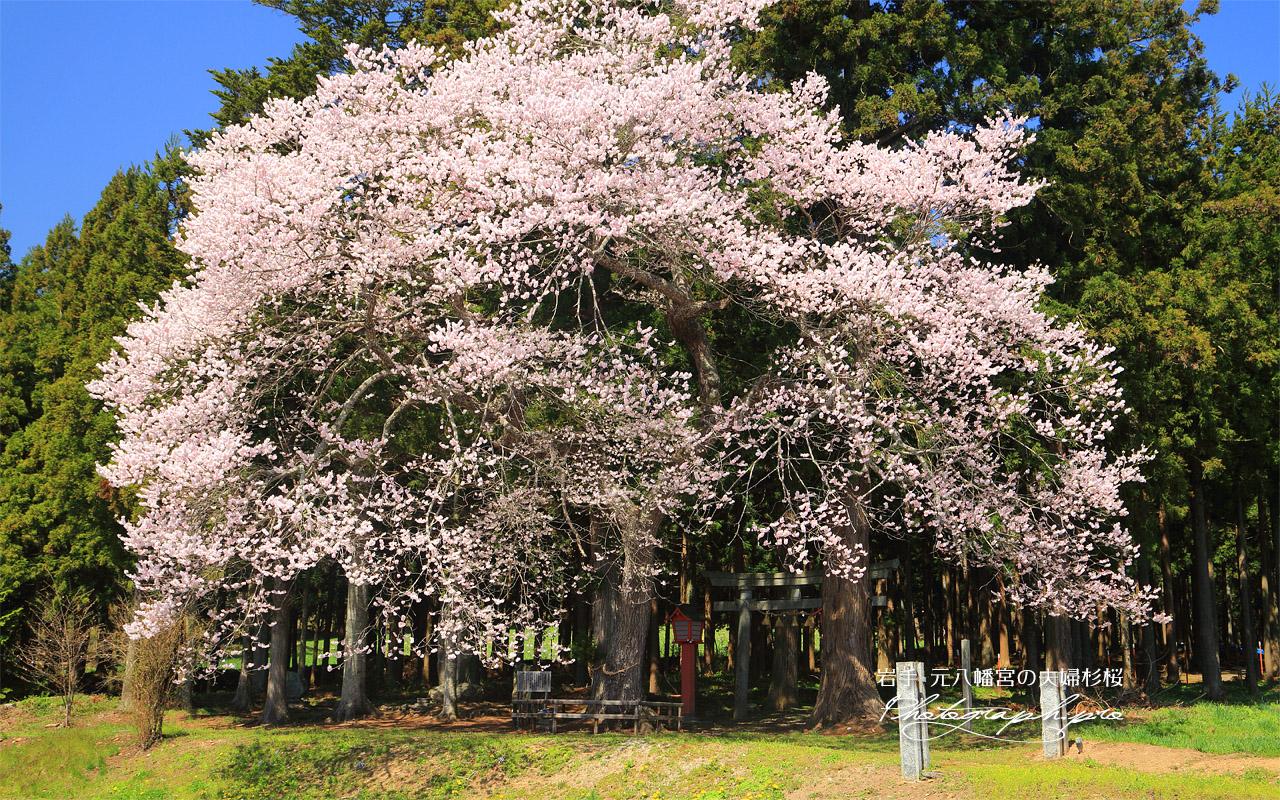 元八幡宮の夫婦杉桜 壁紙