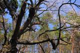 横田城跡のヒガンザクラ