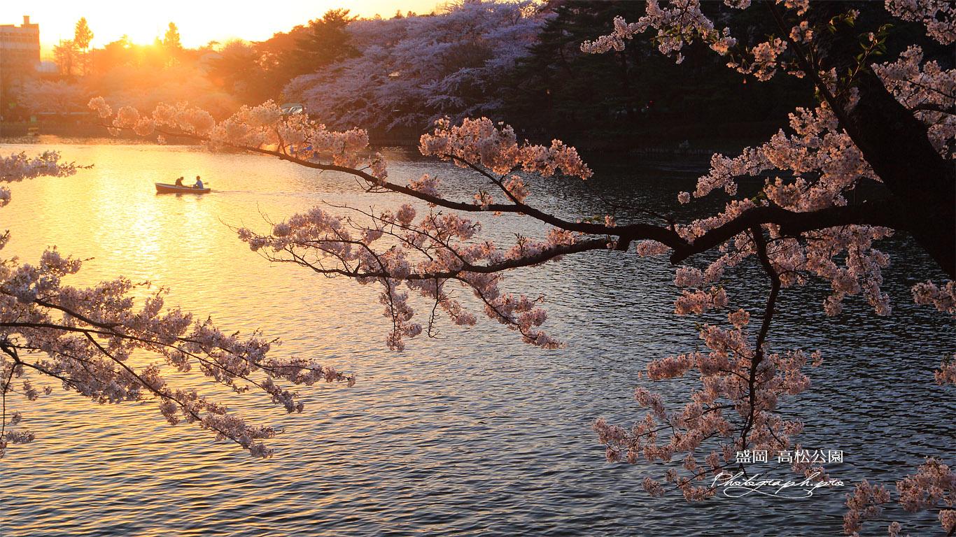 高松公園の桜 壁紙