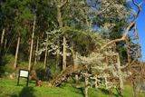 諏訪神社の千歳桜
