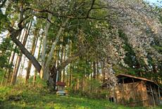 秋葉のカスミ桜