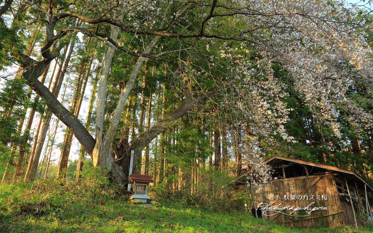 秋葉のカスミ桜 壁紙