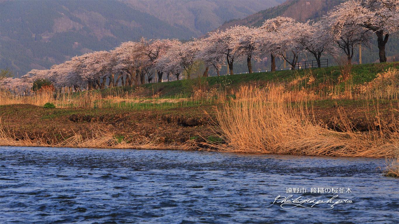遠野市 綾織の桜並木 壁紙