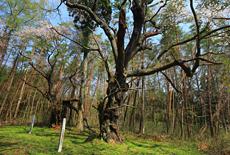 横田城跡の桜