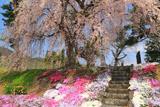 阿曽沼公歴代碑のしだれ桜