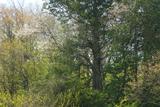 毒沢のサワラと桜の寄木