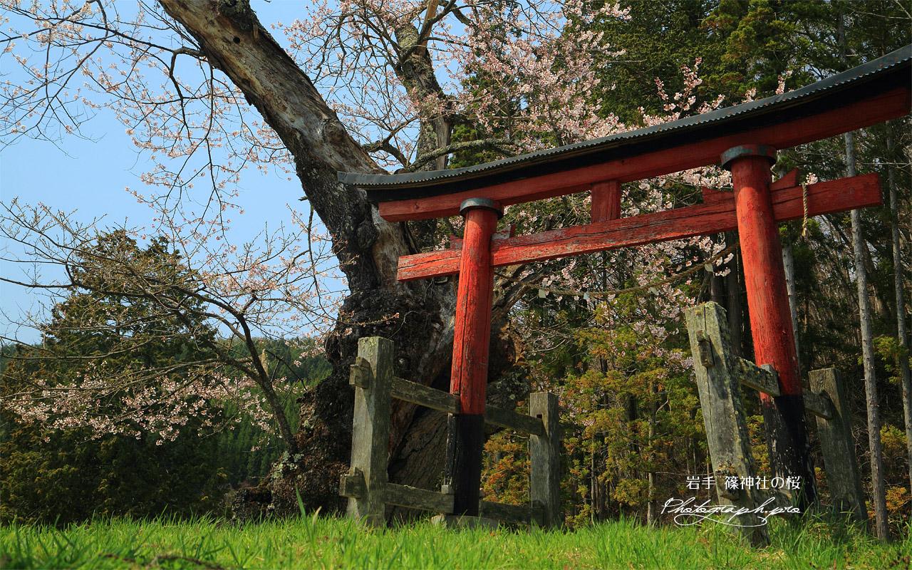 篠神社の桜 壁紙